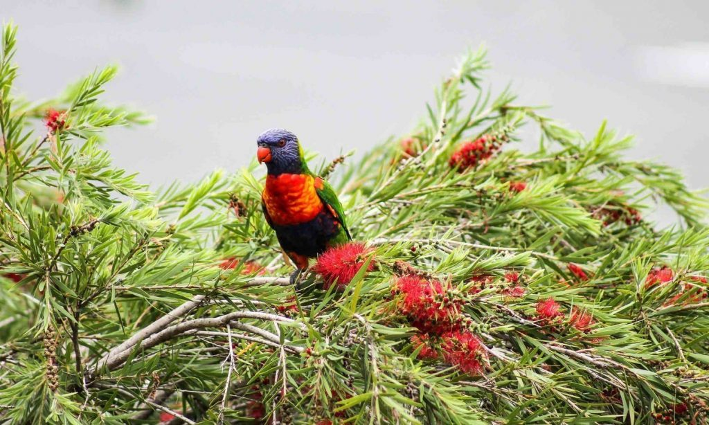 Aussie playroom: Rainbow Lorikeet Australian bird in Bottle Brush tree