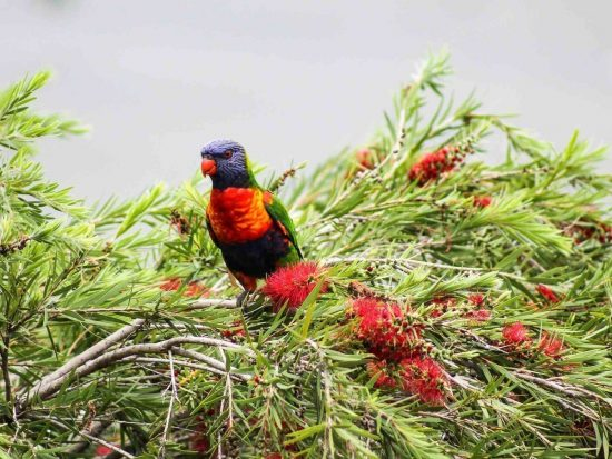 Rainbow-Lorikeet-Australian-bird
